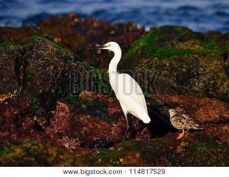 White heron and turnstone