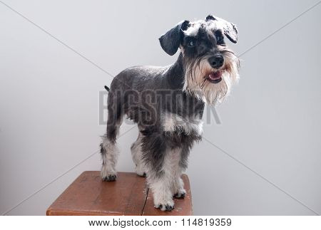 Miniature Schnauzer a portrait of small dog ** Note: Soft Focus at 100%, best at smaller sizes