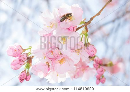Bee On Pastel Pink Flowers Of Spring Blossoming Apple Tree