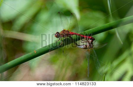 A pair of mating Meadowhawk dragonflies.  Sympetrum vicinum.