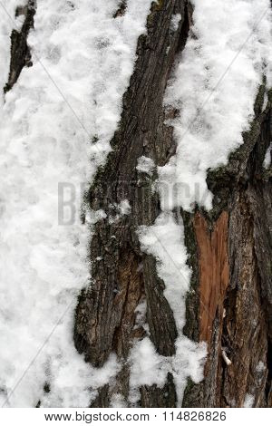 Tree Bark In Snow.
