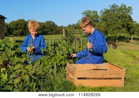 Farm boys picking the beans in vegetable garden