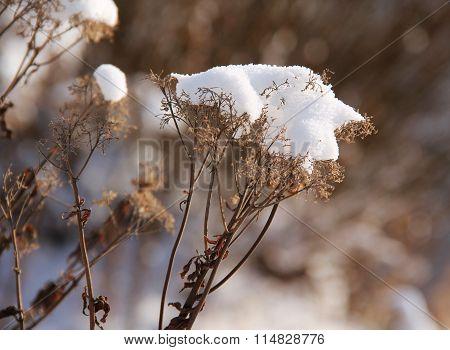 yarrow with snow