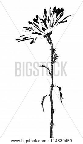 Black daisy flower stem and leaves illustration on white.