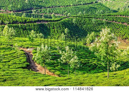 Tea plantations in the morning, Munnar, Kerala state, India