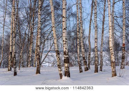 Trunks Birch Grove Snow