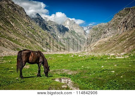 Horse grazing in Himalayas. Lahaul valley, Himachal Pradesh, India