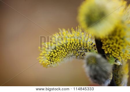 Yellow Willow Flowers On The Branch In Spring. Macro Photo