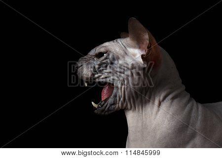 Closeup Sphynx Cat Hisses On Black