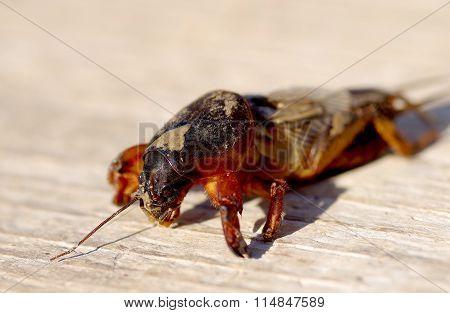 Mole Cricket, Gryllotalpa Gryllotalpa