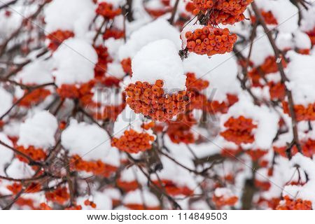 Frozen Red Rowan