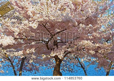Cherry blossom peak in Washington DC USA.