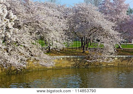 Cherry trees at peak blossom around the Tidal Basin in Washington DC USA.