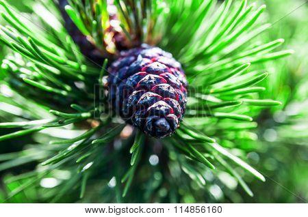Cone Of Dwarf Pine
