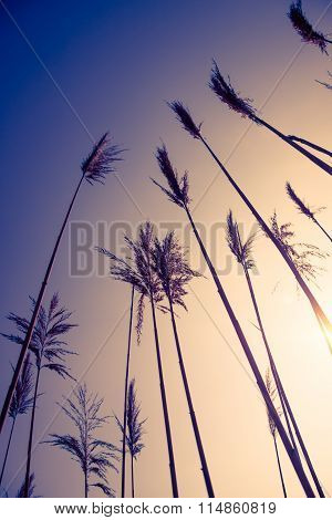 yellow bulrush with blue sky in background vintage