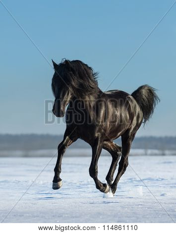 Black Andalusian stallion gallops on snow meadow