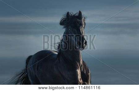Black Andalusian stallion - portrait in motion