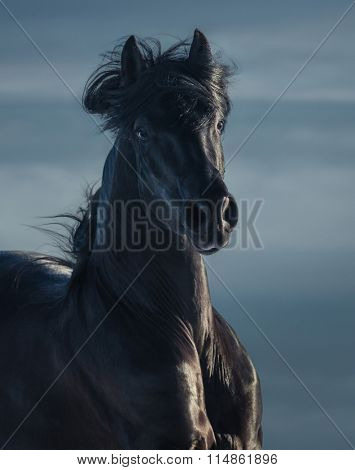 Black stallion of Andalusial breed - portrait in motion