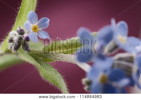 Forget-me-nots On Green Stem Against Pink Background