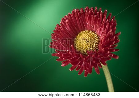 Red And Yellow Zinnia Elegans Flower Blossom Against Green Background