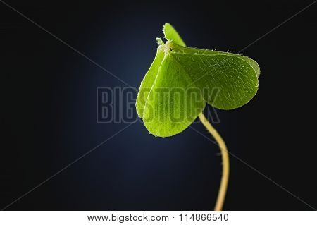 Green Closed Heart Forest Three-leaf Clover Pointing Up Dark Background
