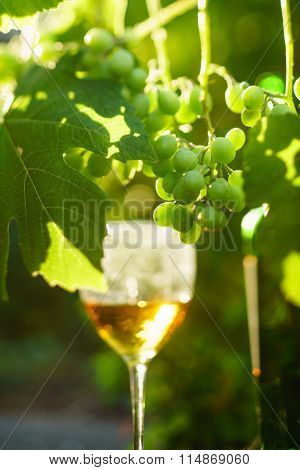 wine with grapes growing on the vineyard