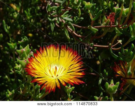 Succulent with its yellow flower with red rim