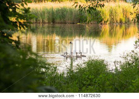 White Swan Family On The Lake