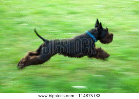Black Schnauzer Running Along The Green Meadow