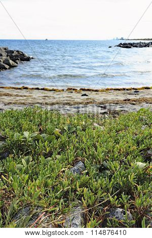 Edible Sea Purslane Growing Wild