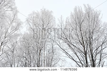 Tops Of Trees In Hoarfrost