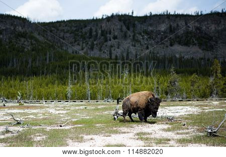 Bisons By The Yellowstone River With Geysers In The Background