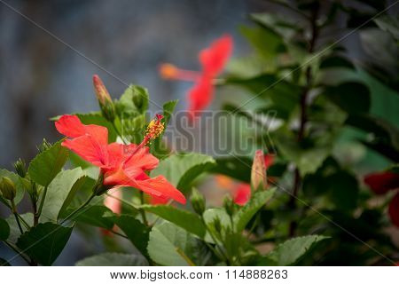 Red Hibiscus or Mar Pacifico Flower