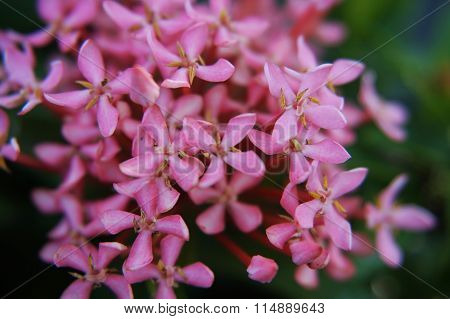 Ixora pink flower