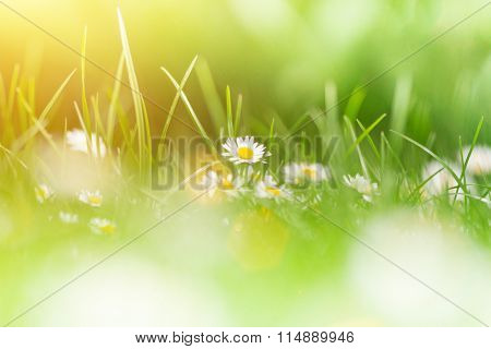 Camomiles in green gras, close up