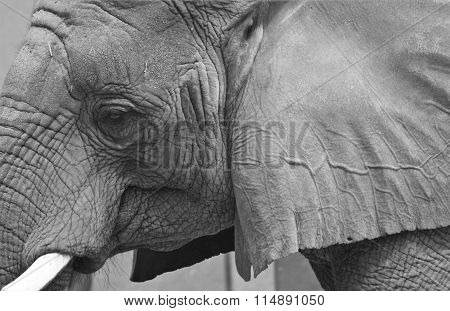 Elephant face and ear in black and white