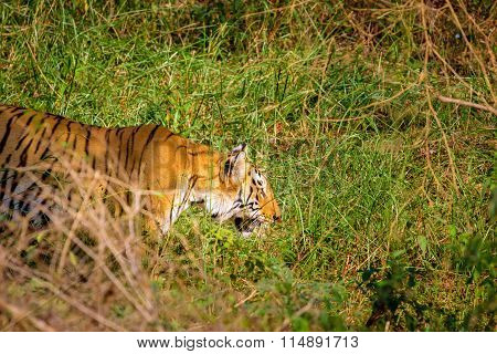 Tigers one of the last wonders of nature.