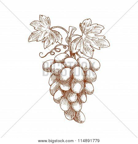 Bunch of grape fruit on grapevine, sketch