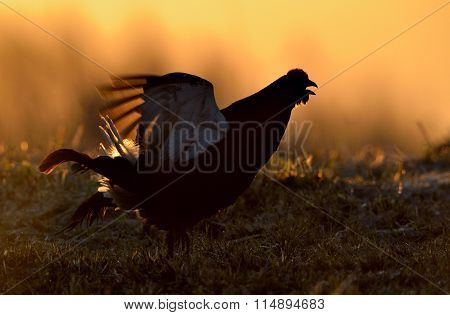 Birkhuhn, Black Grouse (tetrao Tetrix), Blackgame (lyrurus Tetrix). Close Up Portrait Of A Lekking B