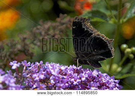Morning Cloak Butterfly on purple flowers