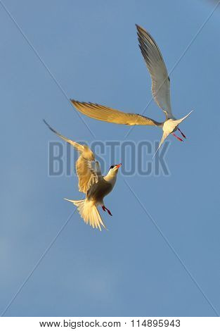 Adult Common Terns In Flight On The Blue Sky Background