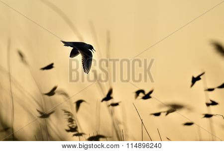 Black-headed Gull (larus Ridibundus) Flying On Sunset. Natural Sunset Red Sky Background,