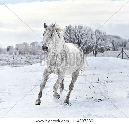 White Horse galloping in Snow