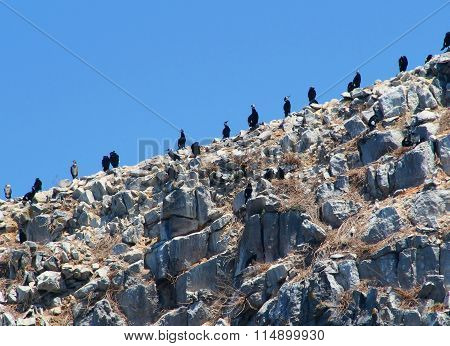 Big black cormorants