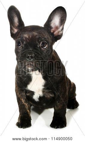 Cute little black French bulldog puppy