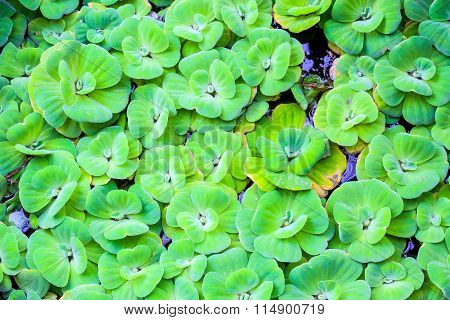 hydrophyte floating on the water for background