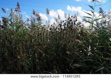 Cutleaf Teasel in a Stand of Common Reeds