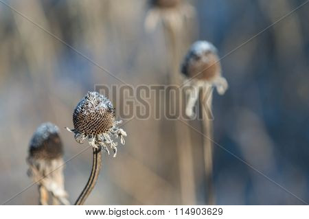 Dry Flower Stalk Sprinkled With Snow
