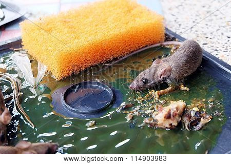 rat on rat glue trap