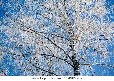 Branches of birch in winter